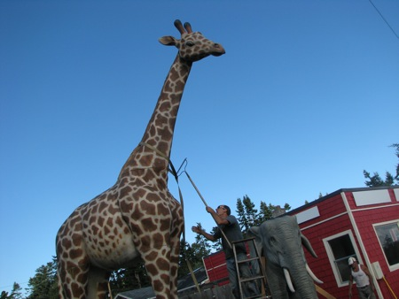 Giraffe in Greenbank, Washington