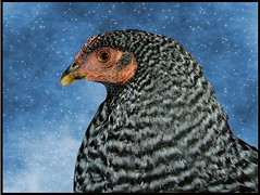 Chicken in the Sky with Diamonds (Maureclaire) Tags: sky bird chicken stars digitalart twinkle hen textured barred alteredimages texturized starrysky barredchicken