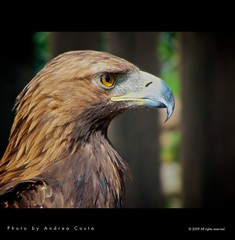 Eagle portrait (Andrea Costa Creative) Tags: desktop wild wallpaper macro tree bird art nature animals closeup illustration photoshop canon painting creativity photography design interesting paint arte post graphic eagle background postcard creative myspace powershot comunicazione explore concept retouch ideas retouching disegno sx1 grafica facebook linkedin interessi comunication photorealistic postprocessing fotoritocco windflower bestphoto photoretouching illustrazione metadesign fotorealismo ritocco netlog andreacosta sx1is sx1best actheart magicunicornverybest socialimg