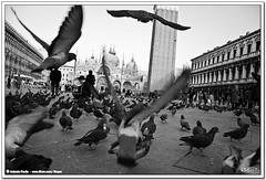 Palomas (Stoper) Tags: plaza bw italy birds italia pigeons places bn pajaros palomas piazza venecia venezia piazzasanmarco plazasanmarcos