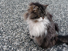 Grump Cat (badlyricpolice) Tags: newzealand cat fuzzy shaved kitty fluffy grumpy glenorchy squishyface flatfaced