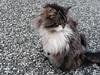 Grump Cat (badlyricpolice) Tags: newzealand cat fuzzy shaved kitty fluffy grumpy glenorchy squishyface flatfaced
