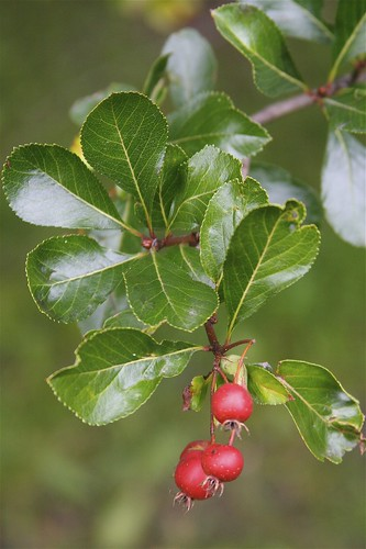 Cockspur Hawthorn Fruit