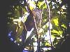 Lipaugus uropygialis (barbetboy) Tags: uropygialis fbwnewbird fbwadded lipaugus lipaugusuropygialis