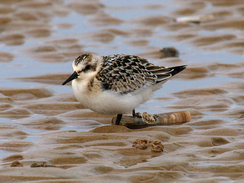 Sanderling © Roger Butterfield