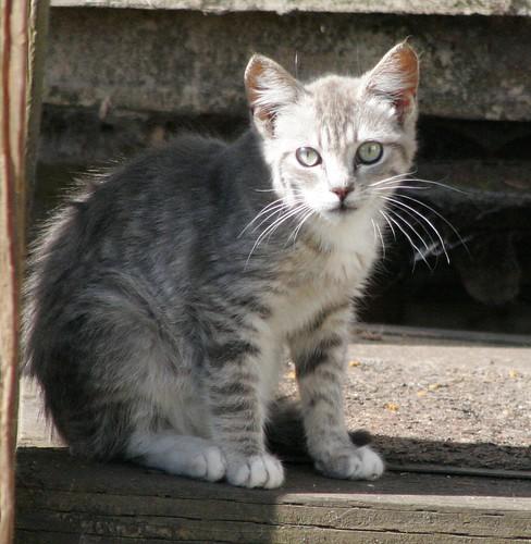 Little Silver Tabby