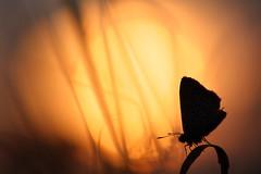 Au Lycne Couchant [EXPLORED] (Pillot) Tags: blue sunset france macro canon butterfly insect de eos soleil champagne ardennes coucher 100mm jour east papillon usm f28 olivier contre insecte 52 est haute argus marne lycaenidae rhopalocera 40d esnault pillot rhopalocre beyondbokeh laharmand