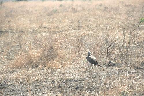 Martial Eagle attacking young Impala - 8 - Mikumi NP, Tanzania