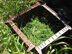 week two_weeds on compost