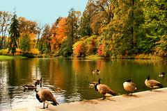 Ducks...er...Geese in a Row (SRApix) Tags: trees reflection fall water geese peace pennsylvania foliage platinum wildbirds worldpeacehalloffame platinumpeaceawards srapix