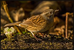 Dunnock. (anthonynixon17) Tags: naturesfinest coombeabbey dunock