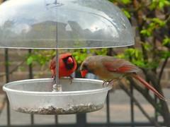 """""""Another kiss?"""" (NHN_2009) Tags: cardinal birdwatching backyardbird northerncardinal cardinalpair cardinalcourtship"""