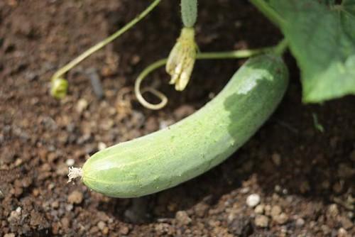 MPF Cucumber