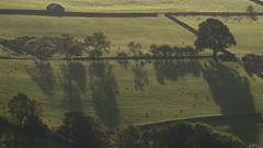 Long Morning Shadows (Nick Landells) Tags: tree trees field fields morning light lakedistrict shadow shadows autumn sheep grazing