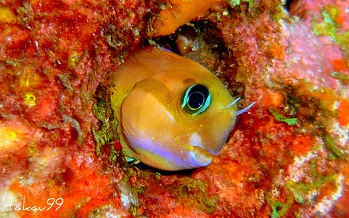 Persian blenny, Similan Thailand
