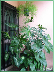 Foliage plants: Philodendron bipinnatifidum, Fern, Caladium lindenii, Spathiphyllum and Anthurium at our garden porch, May 2009