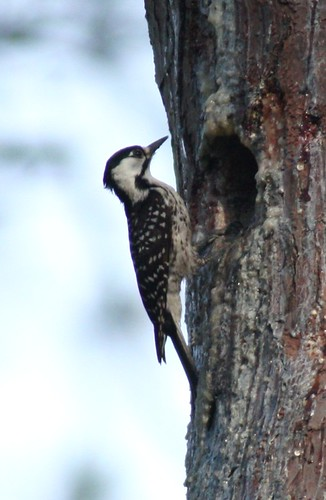 Red-cockaded Woodpecker - 5/30/2009