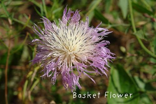 Basket Flower