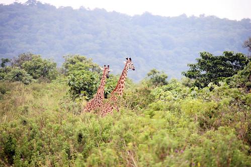 giraffes !!