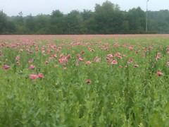 Mohnfeld (Frank Nitty) Tags: flowers flower green blumen blume franknitty mohnblumenfeld poppiesfield byfranknitty blackberrystorm9500