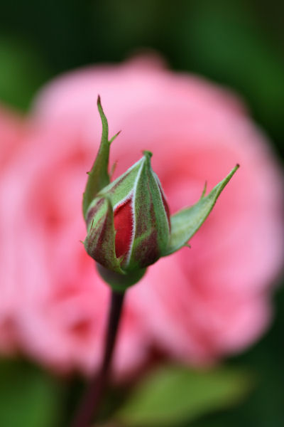 rose 2924 R