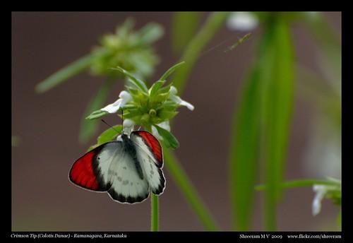 Crimson Tip (Colotis Danae)