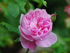 A beauty and the Beast (keithhull) Tags: pink plants flower macro rose petals explore buds mygarden gardener flickrsbest sooc bej mywinners platinumphoto betterthangood explorewinnersoftheworld keithhull mamasbloomers seeninexplore2562009109