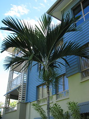 Ptychosperma elegans / Solitaire Palm (tanetahi) Tags: ptychospermaelegans solitairepalm arecoideae areceae ptychospermaditinae native palm queensland australia arecaceae tanetahi