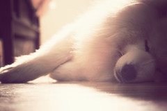 Wakey Wakey Little Goggie (Michelle in Ireland) Tags: dog pet sunlight white animal nose furry bright samoyed bored fluffy sleepy lazy snooze doggie snout ludo gog layingdown boredboredbored sobored goggie layingonthefloor theperfectphotographer msh0909 boredoutofhistree msh090914
