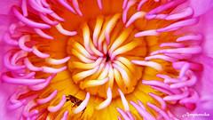 Alien Lotus / ดอกบัวจากต่างดาว