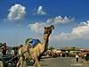 camel (XimoPons : vistas 3.600.000 views) Tags: people india asia earth animales jaipur earthasia ximopons