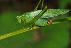 katydid (John Wiessinger) Tags: katydid forktailedbushkatydid
