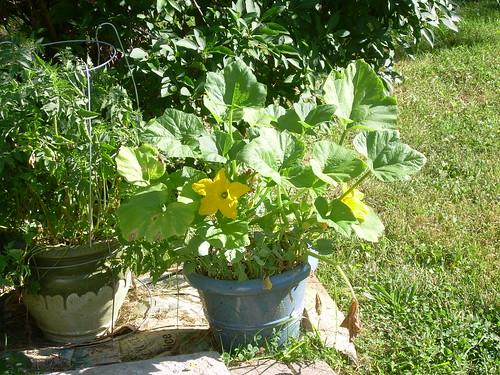 squash flowers