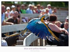 Flying Low (Arie van Tilborg) Tags: zoo blijdorp macaw ara vogel dierentuin vogelshow arievantilborg laagvlieger