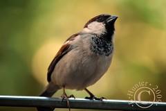 Simple Sparrow ZA