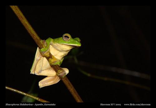 Malabar Flying Frog (Rhacophorus Malabaricus)