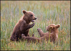 cub fight (rd 3) (Mac Danzig Photography) Tags: bear baby brown nature alaska cub wildlife coastal grizzly kodiak bfgreatesthits macdanzigphotography ©macdanzigphotography tnc11