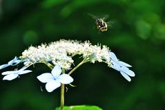 permission to land (Sudachi) Tags: flower fauna insect bee aomori    ajisai  shirakamisanchi