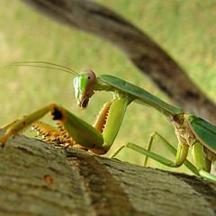 Eye contact with a Praying Mantis (Bn) Tags: mantis rainforest explore tropicalisland kohmak topf100 frontpage fortuneteller prophet prayingmantis pestcontrol amazingthailand bidsprinkhaan mantises mantodea 100faves wildnature specanimal komak chinesemantis tenoderaaridifoliasinensis tenoderasinensis freenature mantisface sexualcannibalism mantiseye raptoriallegs visipix relatedtocockroaches showingitscompoundeyesandlabrum bitingoffthemaleshead camouflageanddefense mastersofcamouflage desirableinsects harmlesstohuman upto10cm upto4inches popularmantisesinthepethobby macroofmantis livingintherainforest