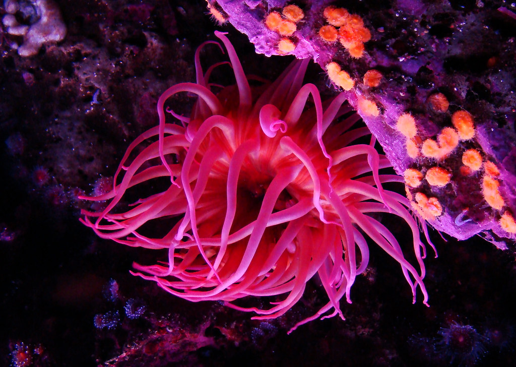 DSC01910 Monterey Bay Aquarium sea anemone