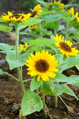 Working the garden: sunflowers