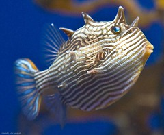 His Big Blue Eyes (julesnene) Tags: ocean sanfrancisco california travel sea water aquarium underwater gettyimages californiaacademyofsciences boxfish gettyimage aracanaaurita juliasumangil julesene stripedcowfish ostracidaefamily imnoichthyologist