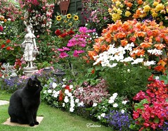 Penny in August (EdwinaFran) Tags: flowers summer statue blackcat fuchsia cosmos begonias impatiens lobelia englishsummer 100commentgroup saariysqualitypictures edwinafran flickrstruereflection1