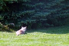 Gracie and Cat 1 September 2009 8239b 4x6 (edgarandron - Busy!) Tags: cats cute cat gracie feline tabby kitty tortoiseshell kitties tortie neighbor notmycat torbie catspotting