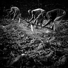 We don't plough the fields and scatter the good seed on the land..... (photocillin) Tags: africa men workers farmers digging conservation line metric malawi hoe zimbabwe produce agriculture yield dig ecological precise subsistence blantyre photocillin zerotillage farminggodsway