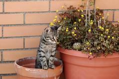 pina (fla via) Tags: pet cats pets nature animal cat nikon kitten chat gato felino katze gatto katzen gatti mascota kater kats katt gattina micio gattino   flaviamagnifici