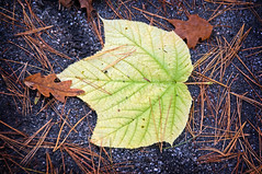 Before its Time (Eric Kilby) Tags: autumn green nature pine leaf woods fallen needles gravel