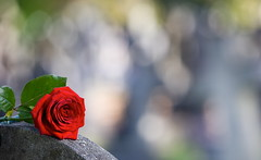 [フリー画像] [花/フラワー] [薔薇/バラ] [レッド/花]        [フリー素材]