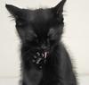 Black kitten licking paw (Nice cup of tea) Tags: black paw kitten fluffy whitebackground licking