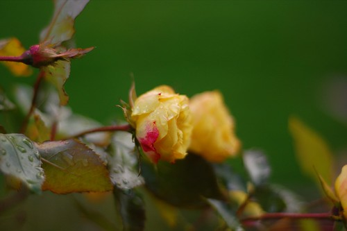 yellow rose with a pink spot